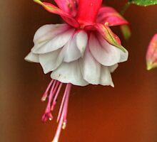 Fuchsia by Tom Gomez