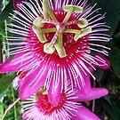 Passion Flower  by DavidROMAN