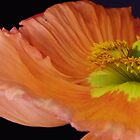 Orange Poppy close up by DavidROMAN