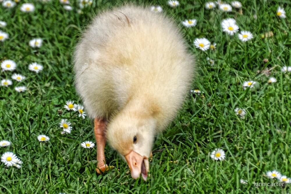 Gosling Among The Daisy........ by lynn carter