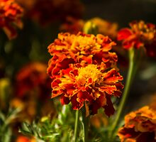 Marigolds by Christopher Cosgrove