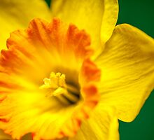 Yellow Daffodil by randywalton