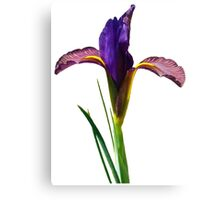 Isolated Eye of the Tiger Dutch Iris Portrait Canvas Print