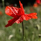 Poppy by JEZ22