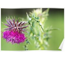 thistle head Poster