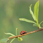 Ladybug by elasita