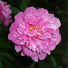 Peony Delight by charmedy