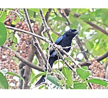 DRONE OF THE DRONGO Photographic Print