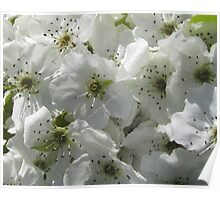Pear Apple Blooms Poster