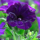 Blow your own trumpet pansy – 2 by Zennia