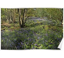 Bluebell copice wood – Leigh Hill – Surrey Poster