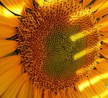 Center of a Sunflower by Sandra  Aguirre