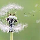 Dandelion  by Melissa Dickson