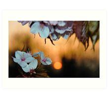 Cherry blossom sunset Art Print
