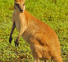 Agile Wallaby by Penny Smith