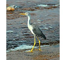 Little Pied Heron Photographic Print