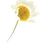 Daisy in high key -2 by Zennia