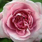 Furled pink petals rose – 2 by Zennia