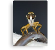 Close up macro of a Robber Fly - Efferia albibarbis Canvas Print