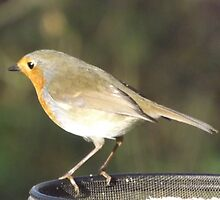 Robin by Jacqueline Turton