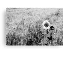Sunflower in a field of wheat Canvas Print