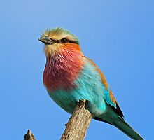 Lilac breasted Roller 3 by jozi1
