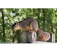 Squirrel sitting on top of a post Photographic Print