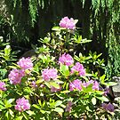 Rhododendrons? by Shulie1