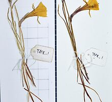 Herbarium Sketches #02 by Immy Smith