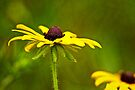 Black-Eyed Susan by Roger Passman