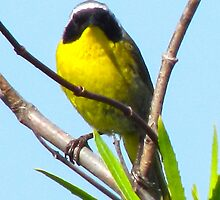 Common Yellow Throat Warbler by Bunny Clarke