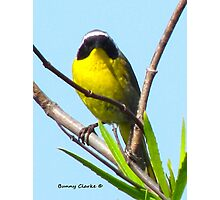 Common Yellow Throat Warbler Photographic Print