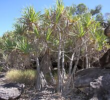 Rock Pandanus, Arnhem Land by Carole-Anne