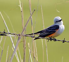 Scissor-tail Flycatcher by mangagkakawatak