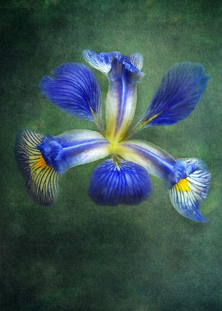 Wild Iris by Kathilee