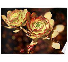 Desert Roses Poster