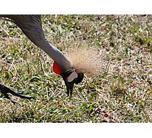 Crested Crane Photographic Print