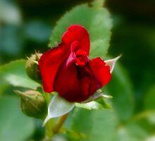 Rose Garden Series ~ 1 by ctheworld