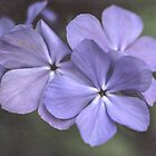 Phlox in the Evening Light by Anita Pollak