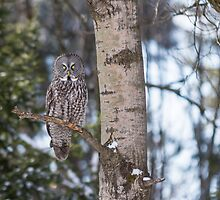Great Grey Owl in a tree by Josef Pittner