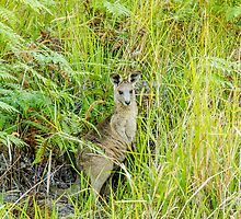 Wild Kangaroo, Coombabah Wetlands, Gold Coast, Australia. by Ann Pinnock