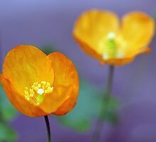 Orange Poppies by Astrid Ewing Photography