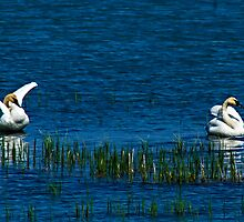Trumpeter Swans on Dezdeash Lake by Yukondick