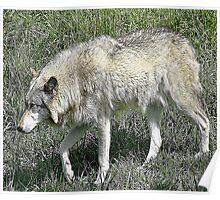 Rexburg Idaho - Timber Wolf Poster