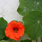 Farmhouse nasturtium by TwoShoes