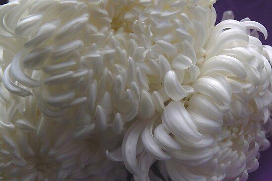 chrysanthe mums by demonkourai