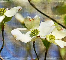 Dogwood Blosssoms by MotherNature2