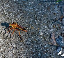 Robber Fly by TJ Baccari Photography
