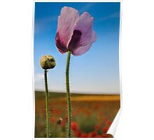 Purple Poppy Poster