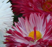 Pink and white Daisy Sticker